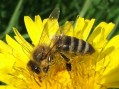 Niški pčelari dobijaju subvencije