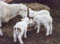 U Ivanjici ovca ojagnjila čak 5 jaganjaca