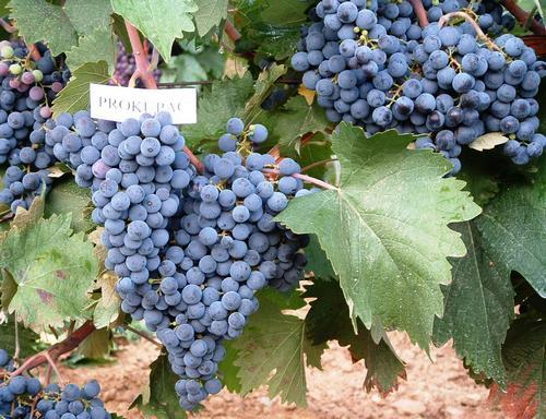 U Prokuplju ponovo oživljava vinogradarstvo