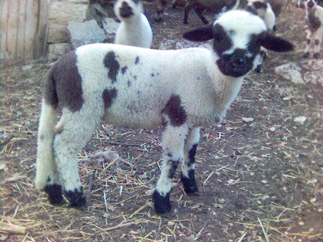 Svrljiška ovca – Nacionalno blago koje izumire