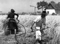 Kako se nekada žnjelo žito kraj Sombora