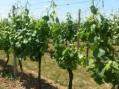 Počinje sezona zelenih radova u vinogradima