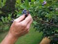Borovnica – grmasta biljka osetljivih plodova