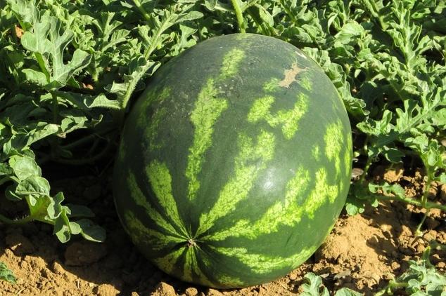 Koliko je zahtevna proizvodnja lubenica?