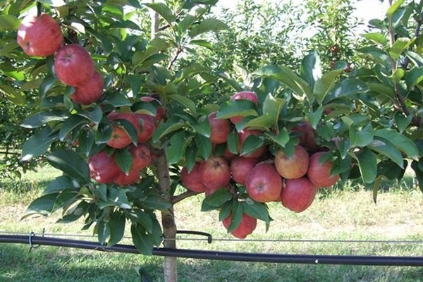 Organski voćnjak – ostvarena ljubav iz detinjstva