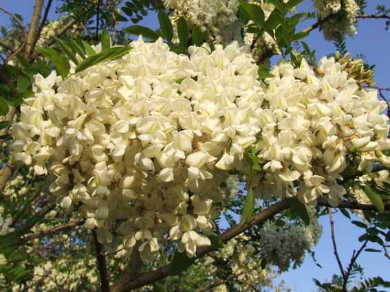 Bor subvencioniše kupovinu sadnica medonosnih vrsta drveća