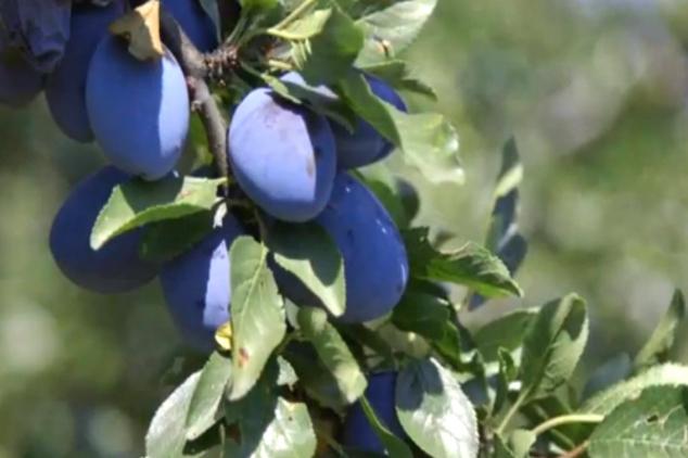 Šljiva dobro rodila u Vranju i okolini (VIDEO)