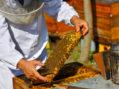 Konkurs sekretarijata za poljoprivredu – 10 miliona dinara za pčelarstvo