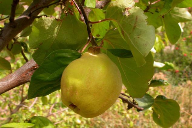 Dunja – izvrsna za prevenciju i lečenje bolesti