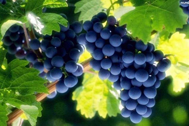 Organska proizvodnja vina u Srbiji