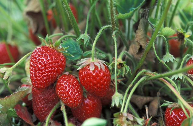 Bačka Palanka: gradnja hladnjače za jagode