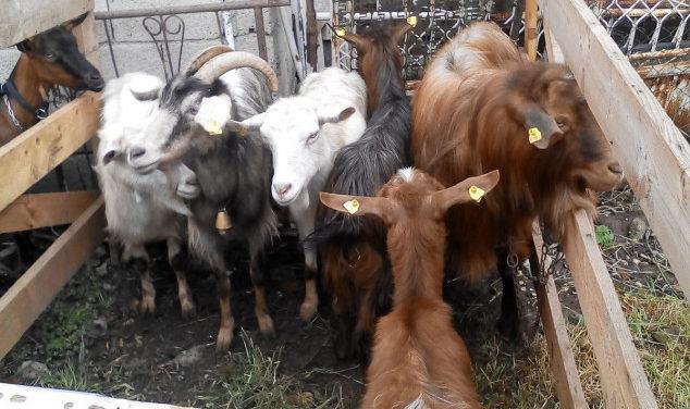 Domaće rase koza su zapostavljene